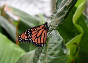Orangener Schmetterling auf einem grünen Blatt sitzend