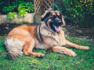 Big Leonberger dog on the lawn