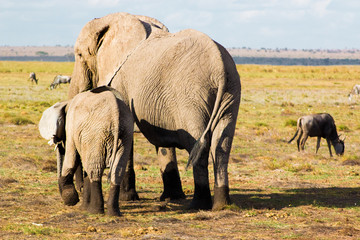Elephant family in a national park in Kenya, Africa