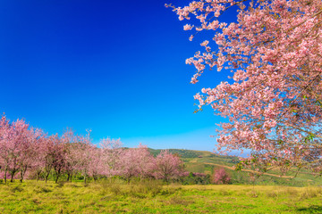 The beautiful Wild Himalayan Cherry in natural meadow on highland in Thailand.