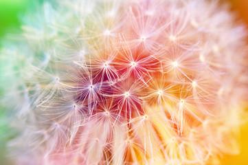 Detail of dandelion seeds, colorful background