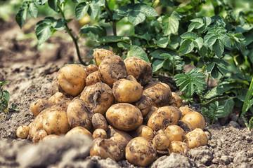 fresh potatoes from soil