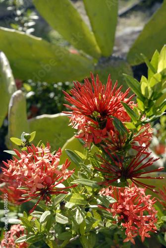 Fleurs Rouges De Martinique Et Feuillage Vert Departement D Outre