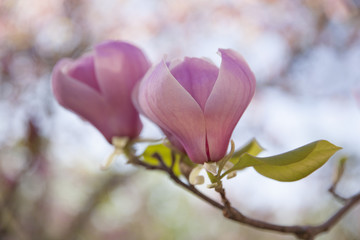 Pink magnolia flowers closeup