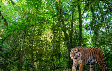 large tiger in landscape with green forest