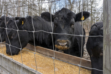Black Angus Cows Eating Corn in a Trough