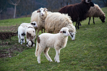 Animal,farming, nature and agriculture concept- Lambs in the field