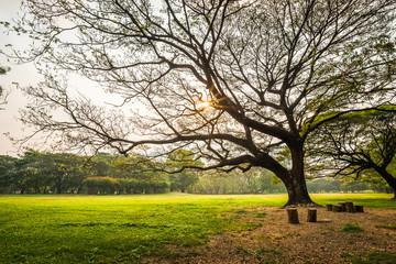 Big rain tree with green grass field in Public Park