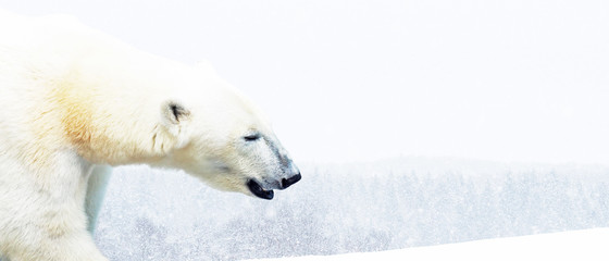 Foto op Plexiglas Ijsbeer Portrait of a beautiful polar bear, ursus maritimus in profile, big carnivorous bear. Polar bear on a background of white winter nature, Arctic, blurred background. Animals in the wild. Space for text