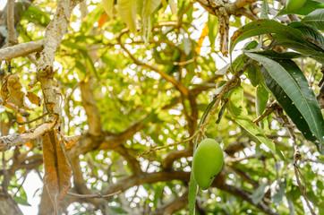 Mango fruit on tree With orange light