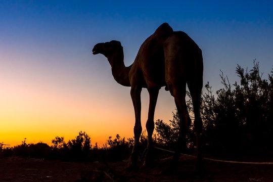 Camel in Danakil depression Ethiopia, Mekelle.