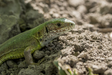 A small lizard in the shadow