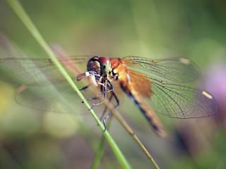 Beautiful dragonfly eats the prey