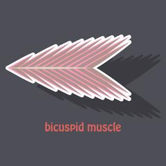 Sticker bicuspid muscle