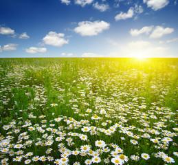 Fototapete - field of daisy flowers