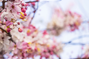 Pink cherry blossom on bokeh background with copy space..