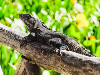 Black spiny tailed iguana resting in belize central america