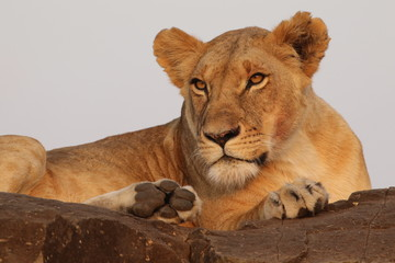 Lioness on High