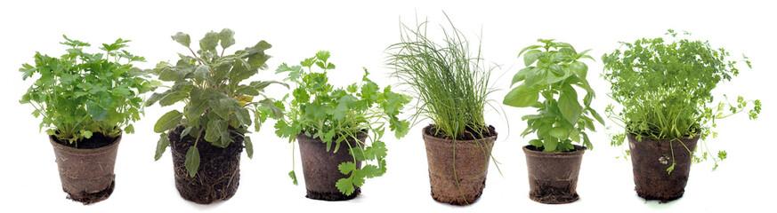 Fototapeta aromatic plants in studio obraz