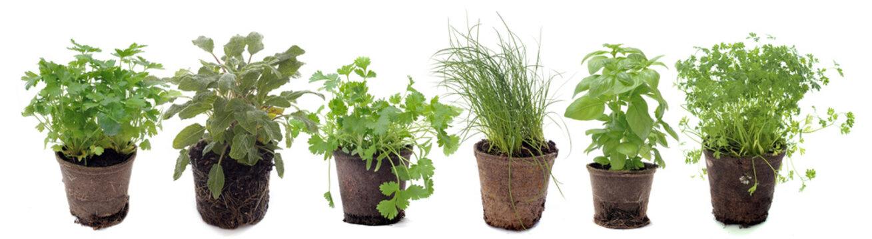 aromatic plants in studio