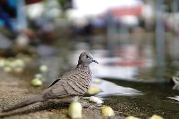 grey bird drink water