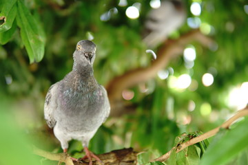 Dove on green tree with yellow eyes