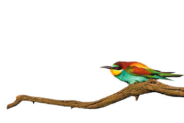 wonderful colored bird on branch dry wrinkled isolated on white