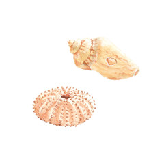 Watercolor illustration of olive shell and urchin seashells