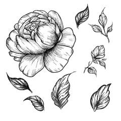 Wildflower peony flower. Hand drawn botanical art isolated on white background.