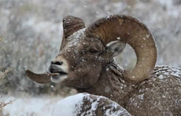 Bighorn Ram in Grand Teton National Park (lip curl)