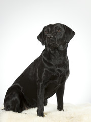 Black labrador dog portrait. Image taken in a studio with white background.