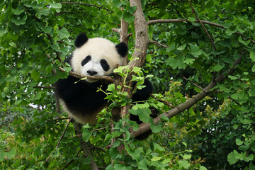 Foto op Plexiglas Panda young panda in a tree