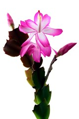 pink and purple flowers of cactus plant