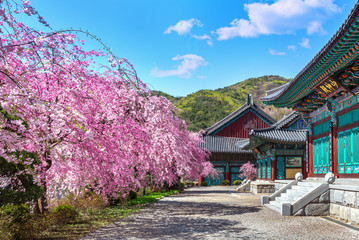 Wall Mural - Cherry blossom in spring, South Korea.