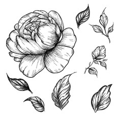 Wildflower peony flower. Hand drawn botanical art isolated on white background.