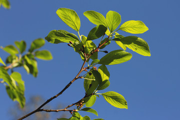 Green spring plum leaves with blue sky