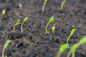 germinated sprout sprouts