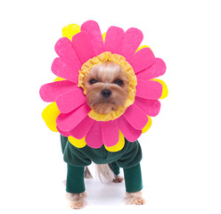 Yorkshire terrier dressed up as a Gerber daisy isolated on white