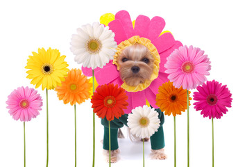 Yorkshire terrier among a group of Gerber daisies isolated on white