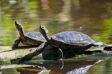 Photo sur Plexiglas Tortue turtles in the lake bask in the sun. Dominican Republic