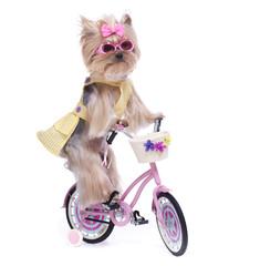 Yorkie on a Bike