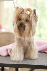 Yorkshire terrier dog at the grooming salon spa