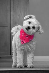 Cute dog in pink bandana