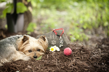 Yorkshire terrier dog pet memorial