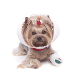 Yorkshire terrier with a broken leg