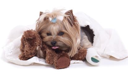 Yorkshire Terrier dog sick with a broken leg