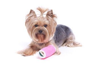 Yorkshire Terrier Dog with a Broken Leg