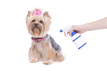 Yorkshire terrier dog with summer season flea and tick preventative