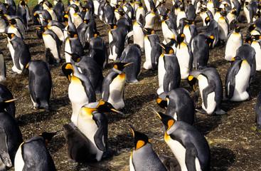 Manchot royal, colonie,.Aptenodytes patagonicus, King Penguin, Iles Falkland