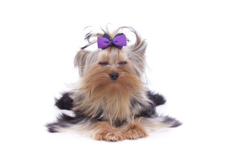 Yorkshire terrier relaxing doing yoga at the spa